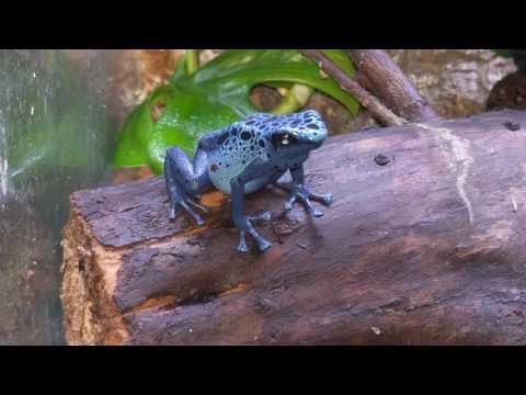 Dendrobates Tinctorious Azureus (Poison Dart Frog) Calling! Typical breeding behavior + Courting