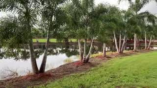 Foxtail Palms/Single and Multi Trunk Planted & Guaranteed