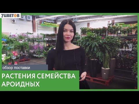 Ароидные растения / Обзор поставки комнатных растений в оптовый центр 7ЦВЕТОВ