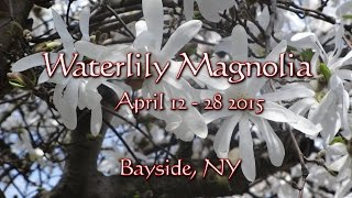 Waterlilly Magnolia Tree Blooms Timelapse
