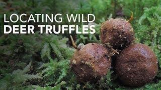 Locating Wild Deer Truffles