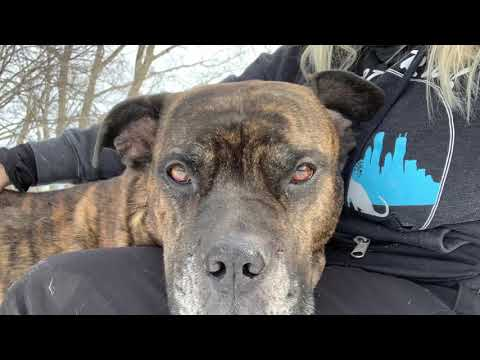 Rex, an adopted Cane Corso Mix in Chicago, IL_image-1