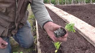 (99) No Dig Bed Preparation and Planting, #Sunflower Challenge
