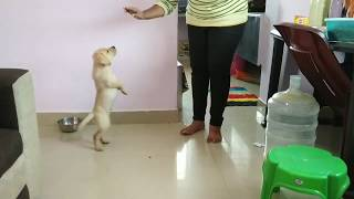 Labrador puppy training/ Labrador puppyes daily routine/lab dog funny video/Labrador dog in tamil.