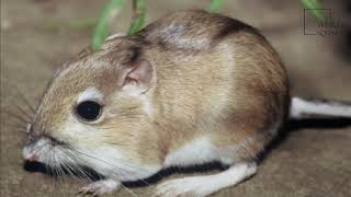 Interesting facts about kangaroo rat by weird square