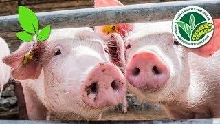 Dịch tả lợn châu Phi: Triệu chứng bệnh và cách chữa trị