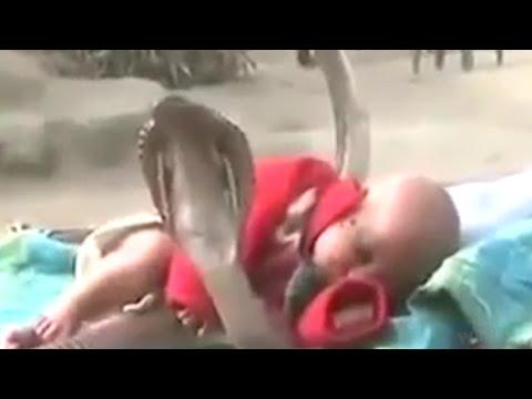 Cobras Protecting Sleeping Baby?