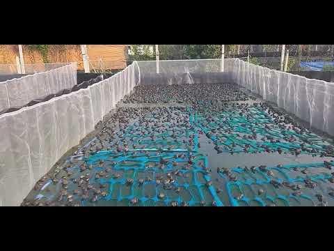 Mô hình nuôi ếch thịt trên vèo trong hồ lót bạt