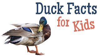 Duck Facts for Kids
