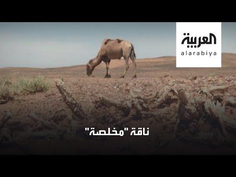 العرب اليوم - شاهد: قصة ناقة مخلصة في منغوليا تعود لصاحبها في رحلة 7 أيام