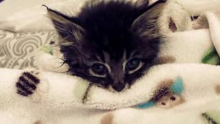 Shelter Staff Spotted This Kitten Walking Weirdly  Then An X ray Revealed Her Unusual Condition.
