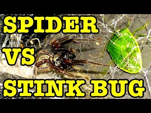Black Spider Vs Stink Bug & Turbo Snail