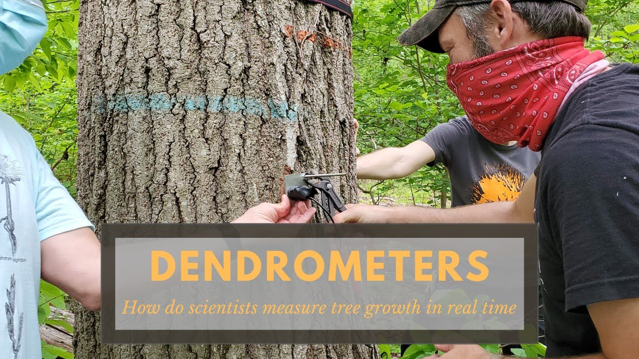 Dendrometers: How Do Scientists Measure Tree Growth In Real-Time