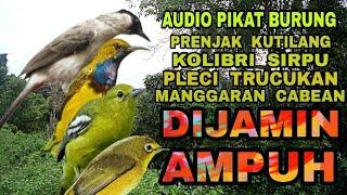 Audio Pikat Burung Paling TOP !!! Dijamin Ampuh Dapet Banyak