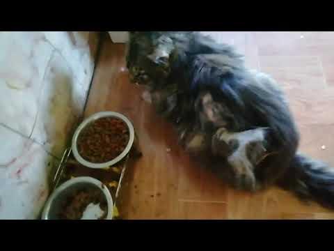 Абсцесс-что делать у кота-собаки под кожей шишка с гноем