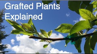 What are Grafted Plants?