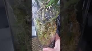 用新鲜水苔(Sphagnum Moss)種植蝴蝶兰14/10/2018  (普通话)