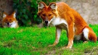 10 Strangest Wild Dog Breeds