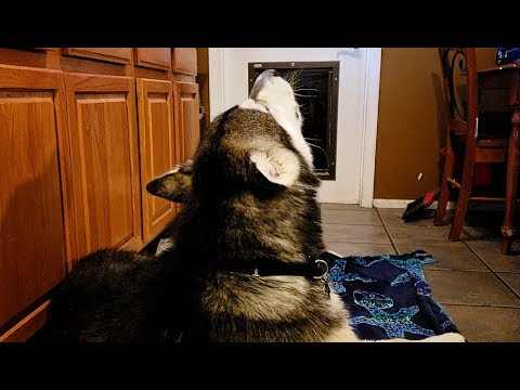 Mad Malamute Won't Look At Me After Leaving His Girlfriends House!