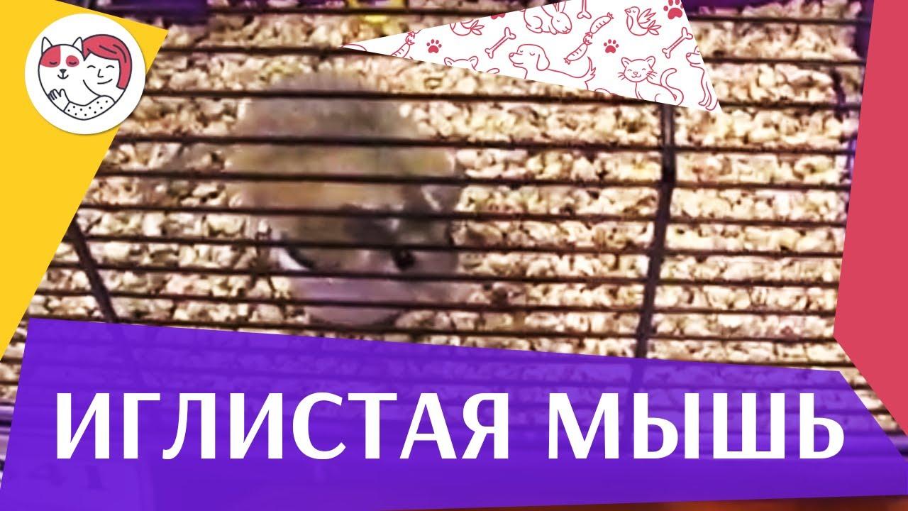 Иглистая мышь Кормление на ilikepet