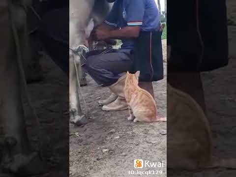 Cat Drinks Milk Straight From the Cow