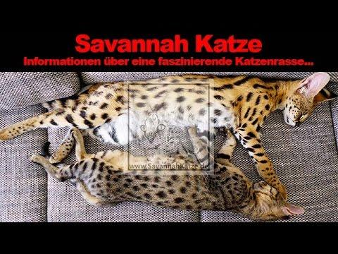 Die Savannah Katze - Eine kleine Rassebeschreibung