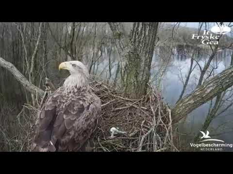 04.04.18 (Seeadlerweibchen besucht Nest mit Habichteiern darin)
