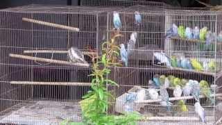 preview picture of video 'CRAZY WILD BIRDS trying to mate with caged budgies , Hat Yai Thailand 2013'