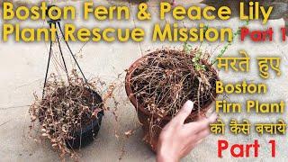 Boston Fern & Peace Lily Plant Rescue Mission Part 1  [ मरते हुए Boston Fern Plant को कैसे बचाये