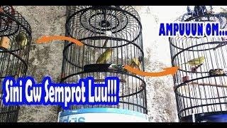 Kecial Kuning Lombok Ngejos Nempel Rapet
