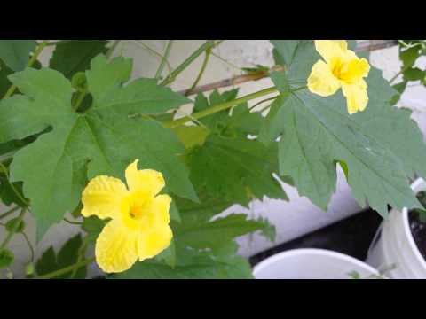 Video Ampalaya: Bitter Melon (Momordica Charantia)