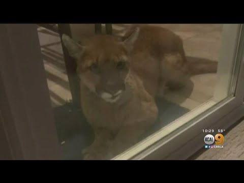 Mountain Lion Caught On Camera Lounges Next To Sliding Glass Door In Simi Valley