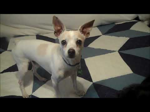 URGENT - Lolo - quiet, calm, sweet and gentle!, an adopted Italian Greyhound & Feist Mix in Pasadena, CA