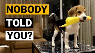 Things NOBODY tells you about owning a Beagle