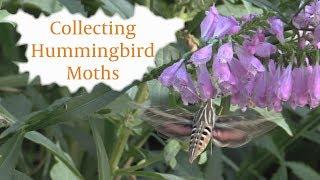 Collecting Hummingbird Moths