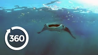 Mantas Flying on the Edge   Racing Extinction (360 Video)