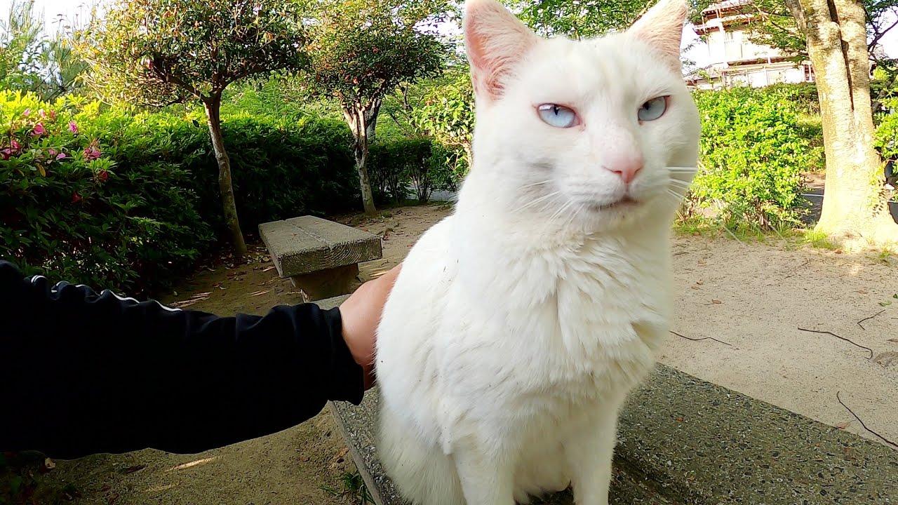 少し汚れた白猫、ゴミを取ってあげたら手にスリスリしてきた