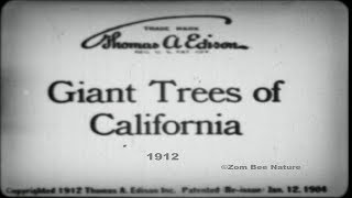 Giant Trees Of California - 1912 - Video Youtube