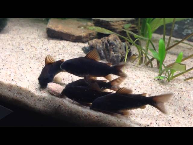Corydoras black Venezuela feeding.