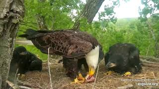 Decorah Eagles 5-25-20, 6:45 pm DM2 brings fish, D36 & 34 fed, D35 gets the steal