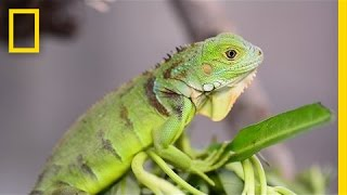 Why This Invasive Lizard Is Bad for Puerto Rico | National Geographic