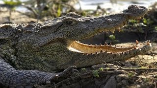 Realm Of The Mugger Crocodile