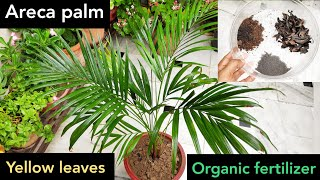#Areca palm care, best fertilizer 4 areca palm plant to make bushy n green, palm tips turning brown