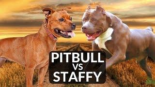 Staffordshire Bull Terrier Vs Pitbull Terrier
