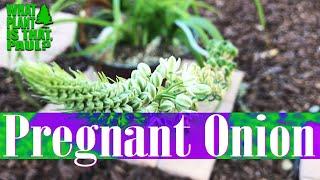 Albuca Bracteata (Pregnant Onion) - Bulbous Flowering Plant In The Family Asparagaceae