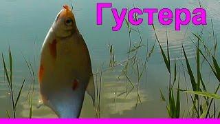 41. Поклевка Густеры на поплавочную удочку. Рыбалка. Ловля густеры на поплавочную удочку. fishing