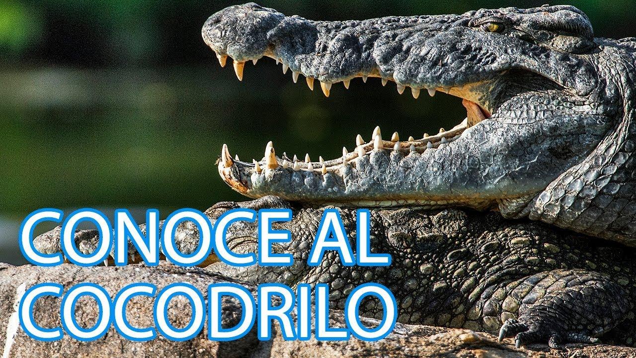 Cómo viven los cocodrilos | Vídeos de animales para niños