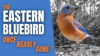 The EASTERN BLUEBIRD | A Bird once almost GONE FOREVER!