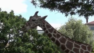 preview picture of video 'Zoo Karlsruhe - Großer Rundgang mit allen Tieren und Attraktionen'