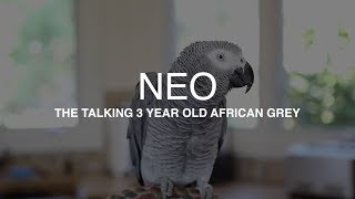 """Neo"" the African Grey talking up a storm - Best parrot talking video ever"